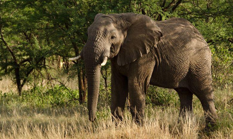 Un éléphant dans le Sarengeti