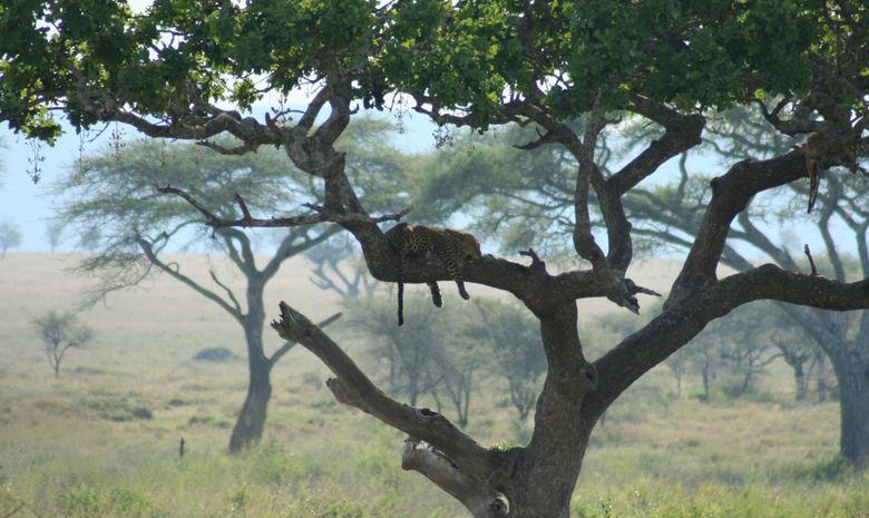 Un léopard dans le Serengeti