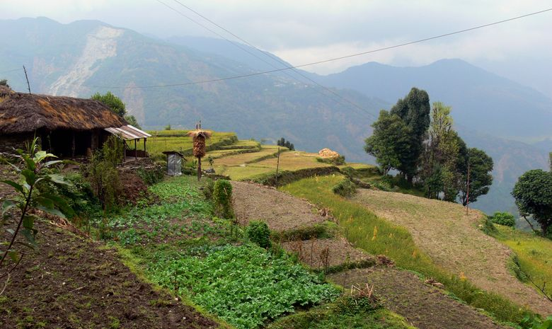 Les rizières de Landruk