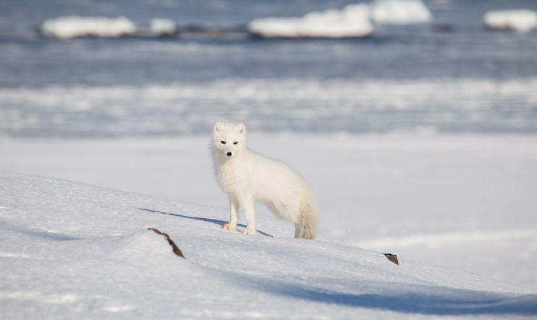 Rencontre avec un renard polaire
