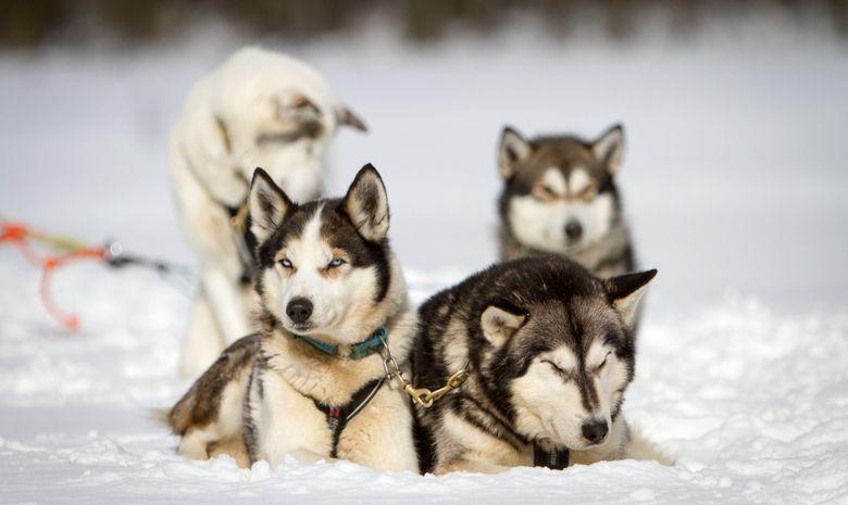 Chien de traineau, motoneige & évasion en Laponie